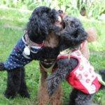 人気犬種「プードル」の性格や特徴、飼うのに向いている人とは?